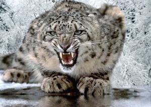 snowleopardentrada