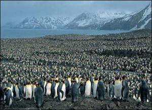 muchos pinguinos